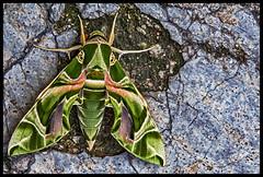 Oleander hawk-moth/Army green moth (Aiel) Tags: oleanderhawkmoth armygreenmoth hawkmoth moth daphnisnerii sphingidae hyderabad begumpet bowenpally newbowenpally vayunagar canon60d canon24105f4l green insect greenhawkmoth mothsofindia