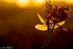 Couleur d'automne (christophe.perraud.44310) Tags: animaux anisoptres macro rose levdesoleil libellules wildlife autumn contrejour