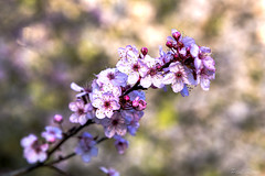 Plum Blossoms (Paul Rioux) Tags: flowers plant nature bokeh background plum depthoffield vegetation plumblossoms prioux