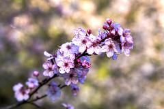 Plum Blossoms (Paul Rioux) Tags: nature plant vegetation flowers depthoffield bokeh background plum plumblossoms prioux