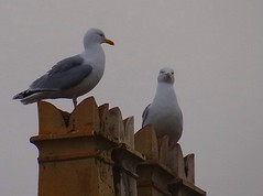 King of the castle. (eveparry21) Tags: gulls herring orme