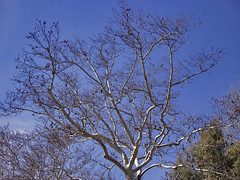 Winter dressed (gtsimis) Tags: blue winter sky plant tree nature branches shapes athens greece kefalari kifisia