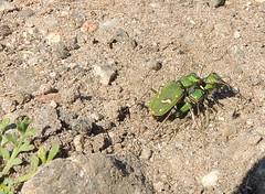 Cicindela ohlone (Ohlone Tiger Beetle) (Turtlerangler) Tags: california santacruz tigerbeetle cicindela carabidae
