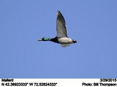 Mallard (Bill.Thompson) Tags: male birds ma mallard anasplatyrhynchos