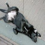 Zwarte hond thumbnail