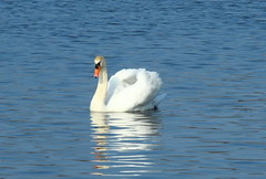 Mute Swan (Cygnus olor) (jdathebowler Thanks for 4.5 Million + views.) Tags: swan waterfowl muteswan yeadontarn cygnusolor aquaticbird thebeautyofnature birdsinternational
