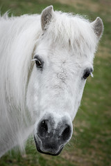 White pony (stephanrudolph) Tags: uk horse white green animal nikon europa europe 85mm pony gb handheld 85mmf14d enland 85mmf14 85mm14 nikkor85mmf14d 85mm14d d700 nikkor85mmf14users