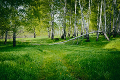hidden path (explore the world around you) Tags: trees summer green grass june forest way russia path siberia fallen birch 2014