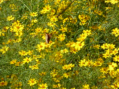 Monarch butterfly and yellow flowers, just off Highway 1 (P1100439) (alg24) Tags: california flowers plants usa plant flower mystery america butterfly us flickr unitedstates unitedstatesofamerica butterflies bigsur yellowflower highway1 orangebutterfly yellowflowers route1 monarchbutterfly orangebutterflies danausplexippus monarchbutterflies