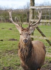 Red Deer Stag (Michelle O'Connell Photography) Tags: male scotland stag fife wildlife handsome deer reddeer cupar cervuselaphus scottishdeercentre bowoffife michelleoconnellphotography