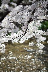 628A3256 (TetuNotable) Tags: kyoto sakura kiyamachi