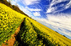 Spring View - Warmwell (AFEXPhotography) Tags: flowers blue sky green field yellow landscape seed rape polarizer hoya rapeseed tokina111628