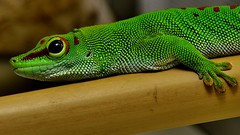 Madagascar Day Gecko (Phelsuma madagascariensis) _DSC0024 (ikerekes81) Tags: washingtondc dc nikon reptile nationalzoo gecko phelsumamadagascariensis nikond3200 dczoo omnivore smithsoniannationalzoologicalpark d3200 washingtondczoo madagascardaygecko