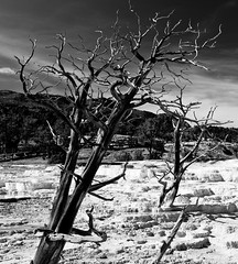 Frozen in Time (John Cothron) Tags: travel summer blackandwhite bw usa monochrome digital landscape us northwest unitedstatesofamerica scenic sunny deadtree mineral yellowstonenationalpark wyoming volcanic americanwest clearsky cpl afternoonlight mammothhotsprings frozenintime thewest thermalactivity mountainwest westernregion circularpolarizingfilter 35mmformat mountainstates johncothron canoneos5dmkii cothronphotography zeissdistagont352ze interiorwest img04550110922