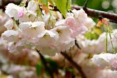 Kirschblüten im Dauerregen (balu51) Tags: rain closeup garden spring blossoms rosa mai raindrops cherryblossoms garten regen frühling regentropfen 2015 kirschblüten schlechteswetter japanischezierkirschen endlessrain zierkirschen dauerregen copyrightbybalu51