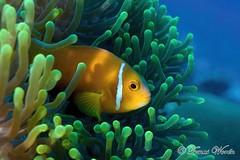 Maldive Anemone Fish (tomwor2) Tags: fish animal asia underwater diving anemone maldives anemonefish maldiveanemonefish bodyhitithila