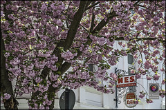 Bonn-Kirschbluete-13 (kurvenalbn) Tags: deutschland bonn pflanzen blumen nordrheinwestfalen frühling kirschbluete