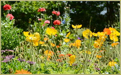Iceland Poppies (tdlucas5000) Tags: flowers flower ice gardens iceland poppy poppies backlit pasadena descanso