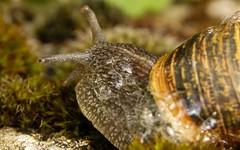 Macro-SLOW (Yasmine Hens) Tags: macro europa flickr slow belgium ngc snail escargot antenne namur hens yasmine wallonie world100f iamflickr flickrunitedaward hensyasmine
