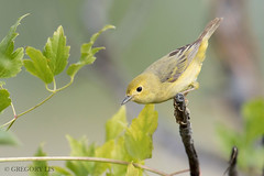 Yellow Warbler female (Gregory Lis) Tags: britishcolumbia merritt yellowwarbler nikond810 setophagapetechia gorylis gregorylis