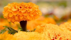 Head & Petals Above The Rest (jeanmarie shelton) Tags: jeanmarieshelton jeanmarie molbaks flower flora garden outdoors orange bokeh closeup macro