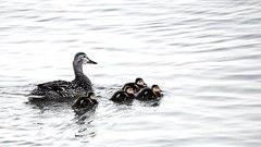 Ducklings and Mama (imageClear) Tags: lowcolor ducks ducklings mama nature birds mallard lake lakemichigan sheboygan wisconsin swim protect cute fuzzy aperture nikon d600 80400mm imageclear flickr photostream darling