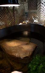 IMG_1517.CR2 (jalexartis) Tags: bask basking baskingstone baskingrock aquatic aquatichabitat aquarium abovetanknetting turtlesecurity fallsafe lighting perspective jalexartis