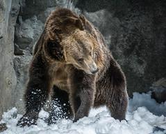 DSC_0102-1 (craigchaddock) Tags: montana scout sandiegozoo centenial grizzlybear enrichment ursusarctoshorribilis centenialcelebration snowenrichment sdzoo100