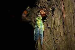 Cicada (Yeong-N) Tags: cicada korea southkorea night incheon asia