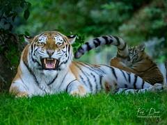 Tigers_C-7 (Ken2407) Tags: marwell marwellzoo wildlife amurtiger cub cubs milla mum bigcat snarl snarling fierce