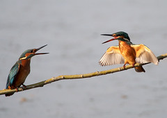 disagreements of two females martin fishermen # 3 (quarzonero ...Aldo A...) Tags: kingfischer martinpescatore female nature bird coth sunrays5 coth5 ngc npc