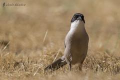 Rabilargo ibrico (Cyanopica cooki) (jsnchezyage) Tags: naturaleza bird fauna birding ave pjaro cyanopicacooki rabilargoibrico