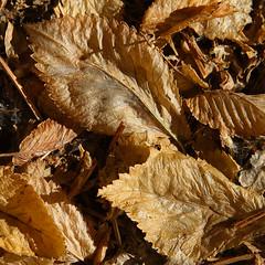 Crispy (arbyreed) Tags: arbyreed leaves close closeup deadleaves crispyleaves dried summerdriedleaves forest forestfloor cruchyleaves brown dry utahcountyutah texture macrotexture flickrphotowalk