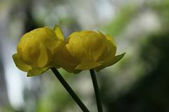 Trolles (bulbocode909) Tags: trolles fleurs nature jaune vert montagnes