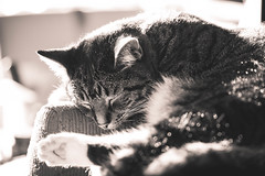Sleeping mode (WillemijnB) Tags: sleeping blackandwhite bw cute canon evening kat chat dof zwartwit bokeh sleep tabby sunny 100mm depthoffield slaap katze mode dormir huisdier dier slapen sommeil slapend avondzon schattig cypers europesekorthaar ensoleill europeanshorthair chateuropeen sleepingmode eos70d