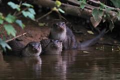 European Otter, Lutra lutra (8) (Geckoo76) Tags: otter lutralutra europeanotter