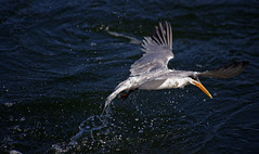 Splash, ii (F.emme) Tags: terns birds bolsachica bolsachicaecologicalreserve bolsachicawetlands wetlands shorebirds negativespace