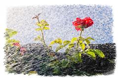 ro-sa (Unos y Ceros) Tags: rosa agua contraluz terminillo aragn textura luz unosyceros 2016 lightroom nikond700 zaragons zaragoneses europaunineuropeaueinvarietateconcordia