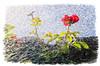 """ro-sa (Unos y Ceros) Tags: rosa agua contraluz terminillo aragón textura luz unosyceros 2016 lightroom nikond700 zaragonés zaragoneses europa""""unióneuropea""""ue""""invarietateconcordia"""