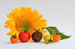 Sun Ripened (njk1951) Tags: tomatoes miniheirloomtomatoes summertomatoes stilllife sunflower yellow red orange fruit sunripened