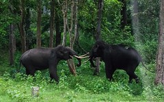 Tuskers fight @Kabini (venmaddy) Tags: fantasticnature tuskers elephant fight animalfight inaction kabini