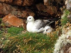 Fulmar and Chick, Braewick Cliffs, Shetland, 21 July 2016 (AndrewDixon2812) Tags: fulmar chick braewick hillswick northmavine eshaness shetland bay headland peninsula cliffs