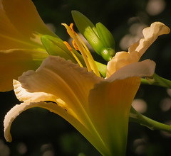 Daylily (mahar15) Tags: plant blooms flowers nature daylily hemerocallis outdoors summer petals flower