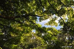 """Acer palmatum """"Dissectum """" (mcgrath.dominic) Tags: japanesemaple acerpalmatum trees fotaarboretum cocork"""