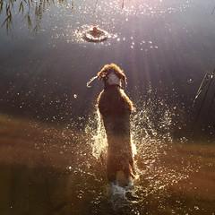 Ball Chaser (hansn (2+ Million Views)) Tags: dog ball hund boll water vatten lake sj spanish waterdog spansk vattenhund kvarnsjn alingss alingsas sweden sverige squarish square