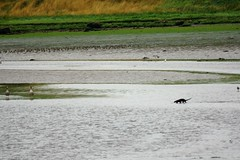 Estuary Otter. (artanglerPD) Tags: hungry otter fishing estuary two geese catching fish