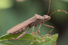Alydidae. Riptortus sp. (David Ball.) Tags: alydidae broadheadedbug canon270ex australia hemiptera riptortus