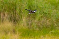 7K8A3853 (rpealit) Tags: scenery wildlife nature east hatchery alumni field hackettstown belted kingfisher flying bird