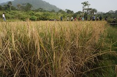 In the field (FAOemergencies) Tags: africa rice farmers liberia fao ebola emergencies ruralcommunities ebolaoutbreak