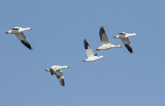Ross's & Snow Geese (for comparison) (marlin harms) Tags: geese snowgeese chenrossii chencaerulescens rosssgeese